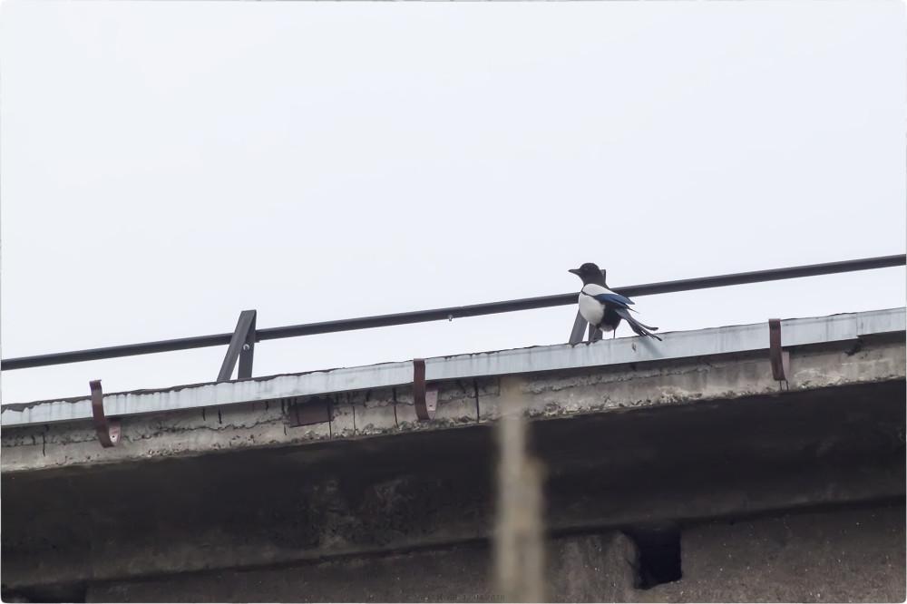 Сорока на крыше заброшенного корпуса КВВКУС [© NickFW.ru - 12.04.2018]