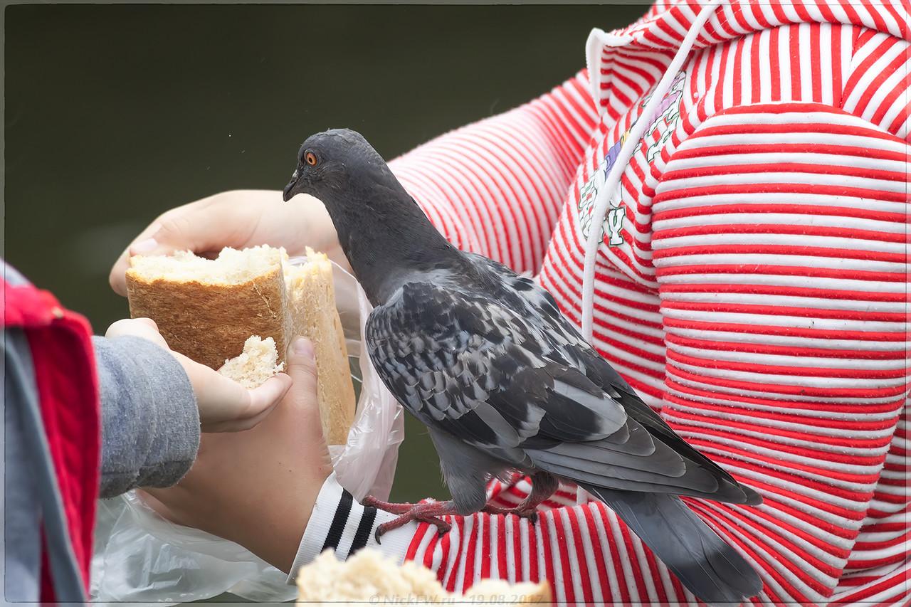 Голубя кормят хлебом [© NickFW - 19.08.2017]