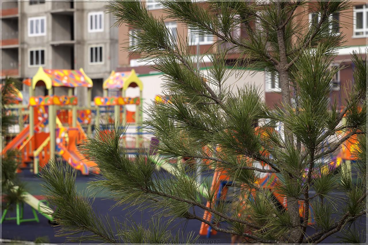 Ветви кедра во дворе пр.Притомский 31/2 [© NickFW - 02.10.2017]