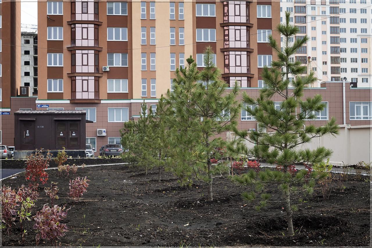 Кедры во дворе пр.Притомский 31/2 [© NickFW - 02.10.2017]