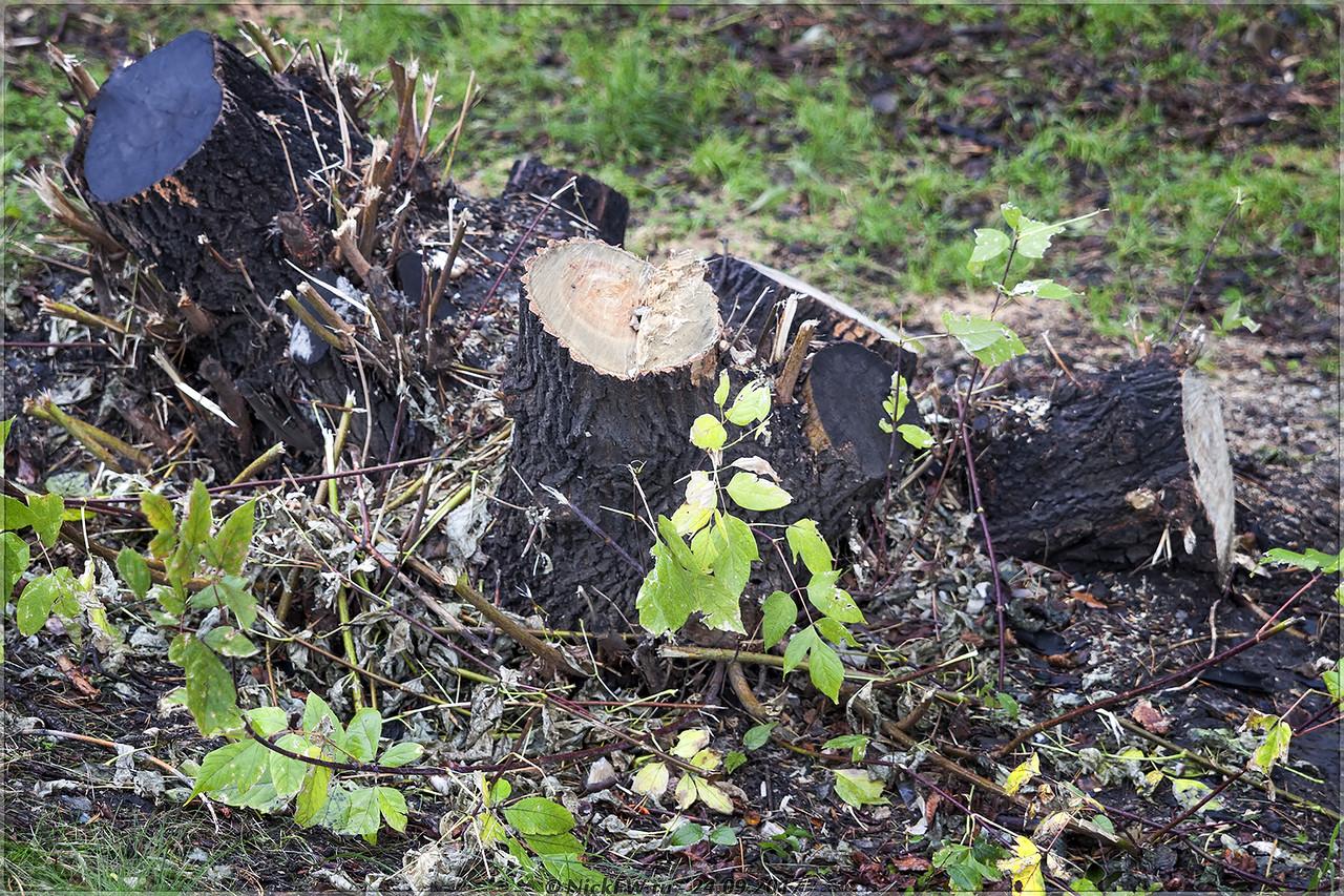 Пни клёнов ясенелистных на Шахтёров [© NickFW - 24.09.2017]