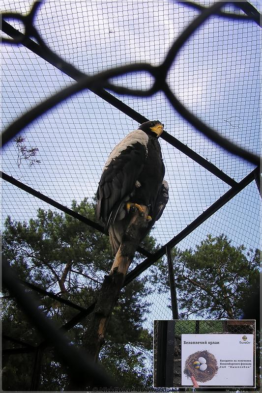 Белоплечий орлан в Новосибирском зоопарке - коллаж с табличкой [© NickFW - 06.08.2005]