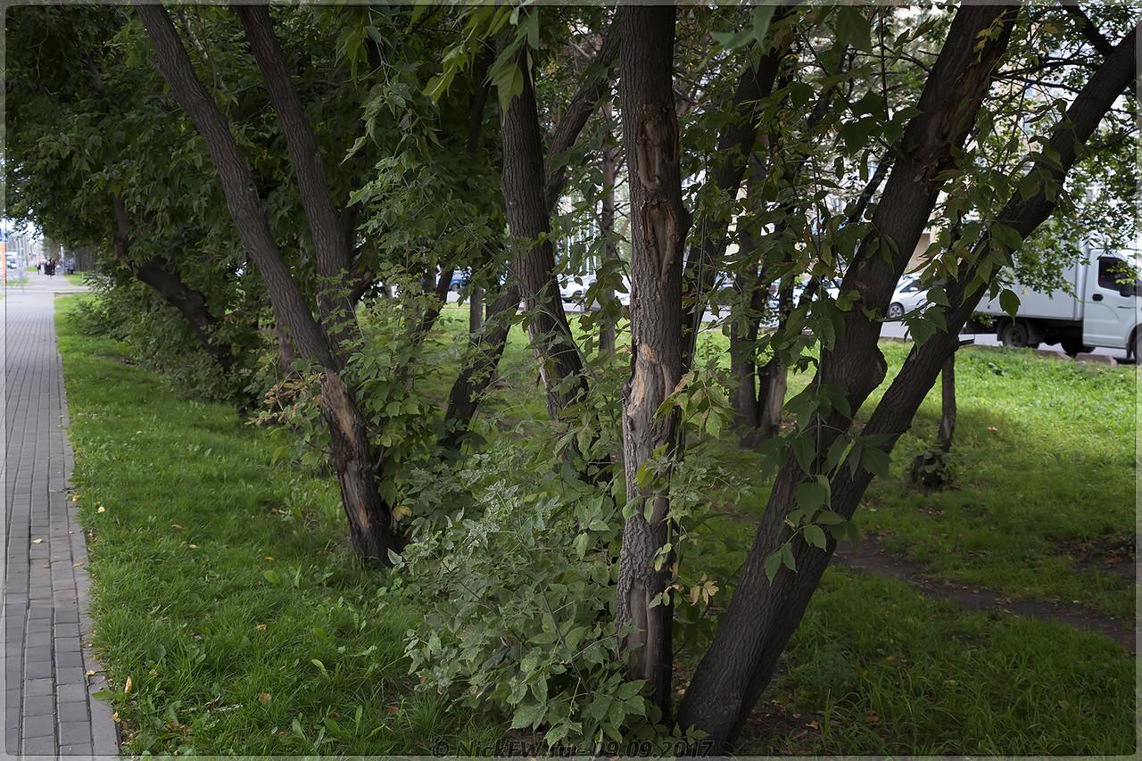 Клёны на Шахтеров [© NickFW - 09.09.2017]