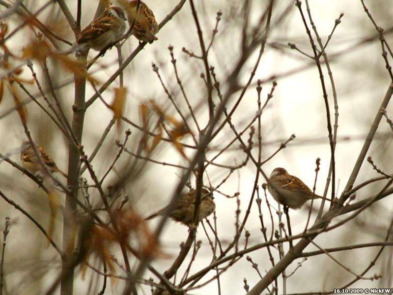 © NickFW 2009-10-16 Осень холод воробьи - 3