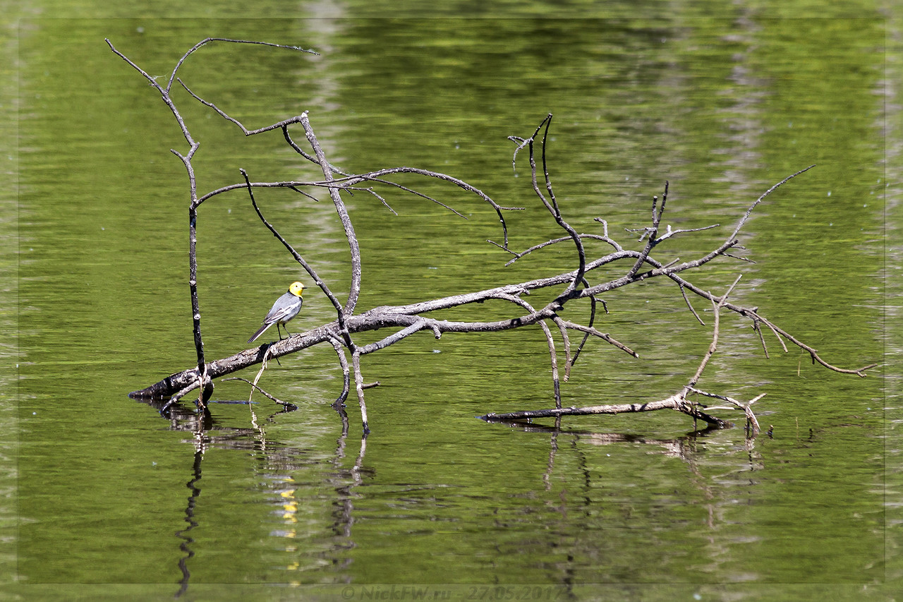Желтоголовая трясогузка (© NickFW - 27.05.2017)