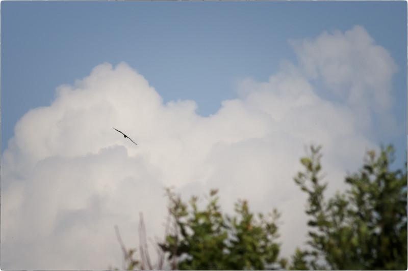 12. Черный коршун в небе [© Nickfw.ru - 05.08.2017]