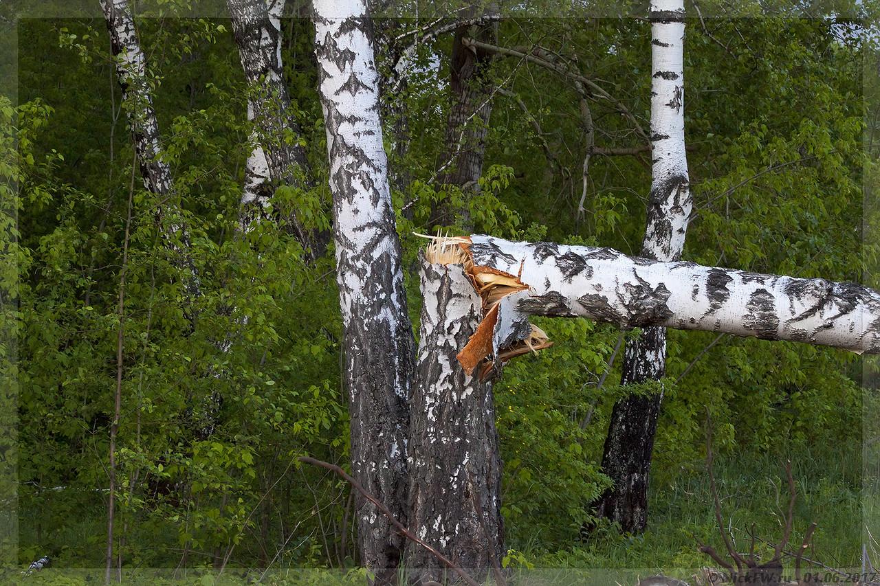 Слом берёзы возле СК Северный (© NickFW - 01.06.2017)