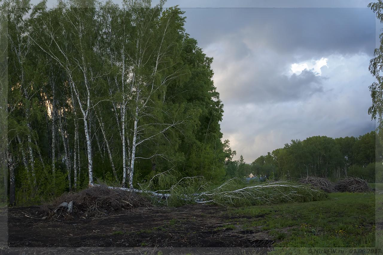 Упавшая береза возле СК Северный (© NickFW - 01.06.2017)
