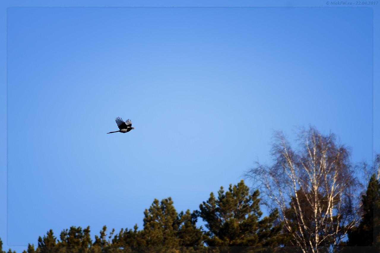 Сорока в полёте с добычей на фоне леса (© NickFW - 22.04.2017)