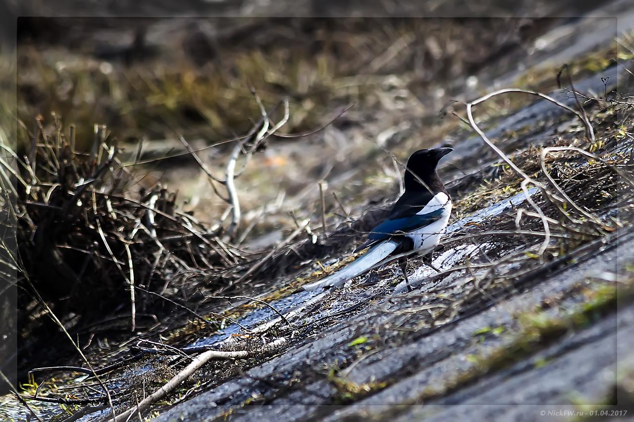 Сорока на бетонном откосе набережной (© NickFW - 01.04.2017)