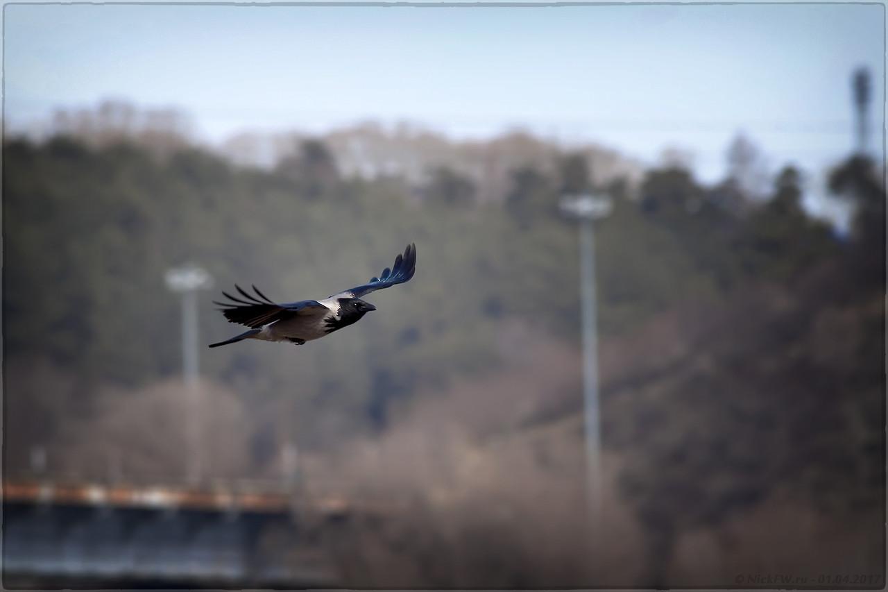 Серая ворона в полёте (© NickFW - 01.04.2017)