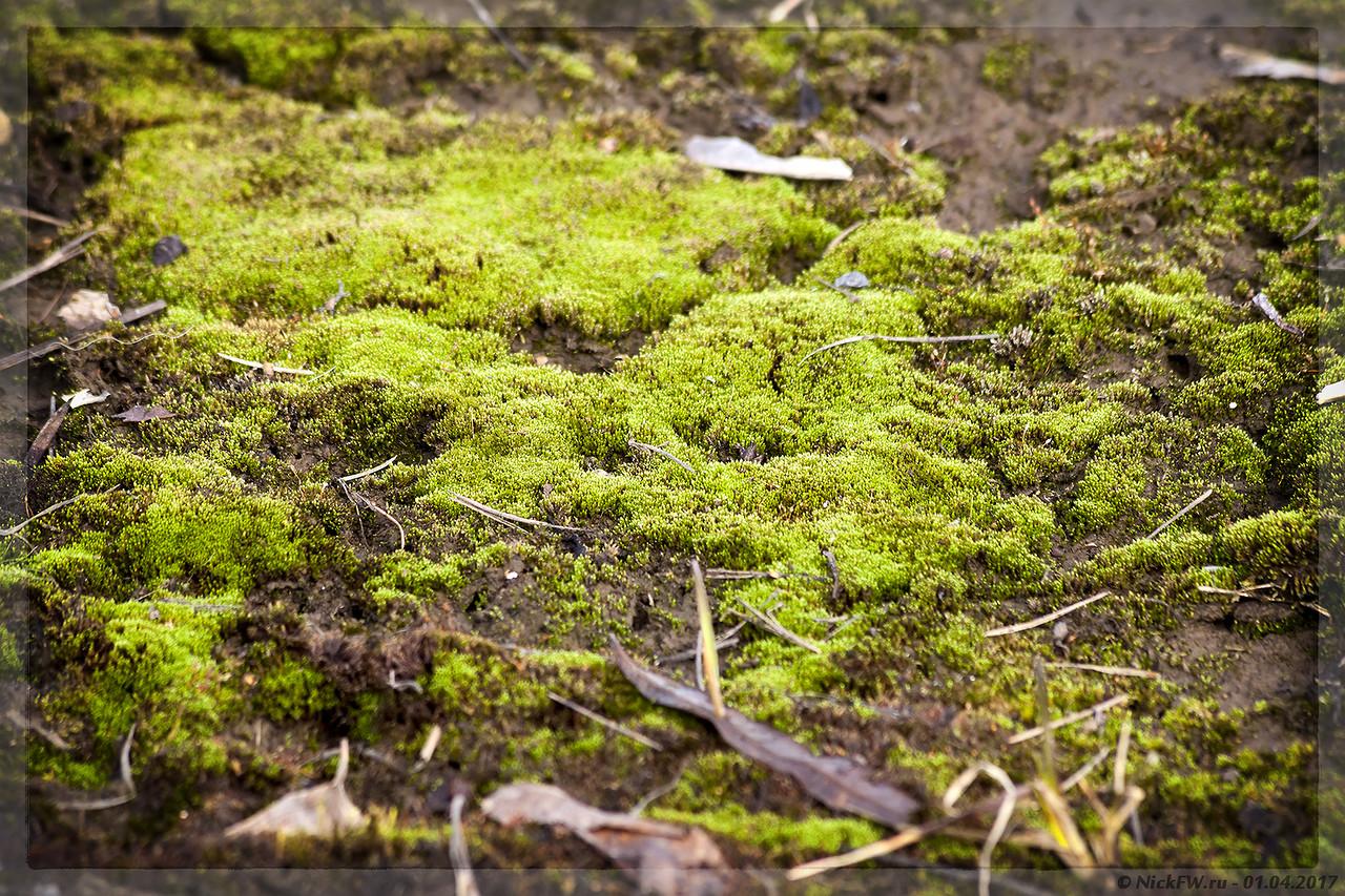 Свежий мох на берегах Томи (© NickFW - 01.04.2017)
