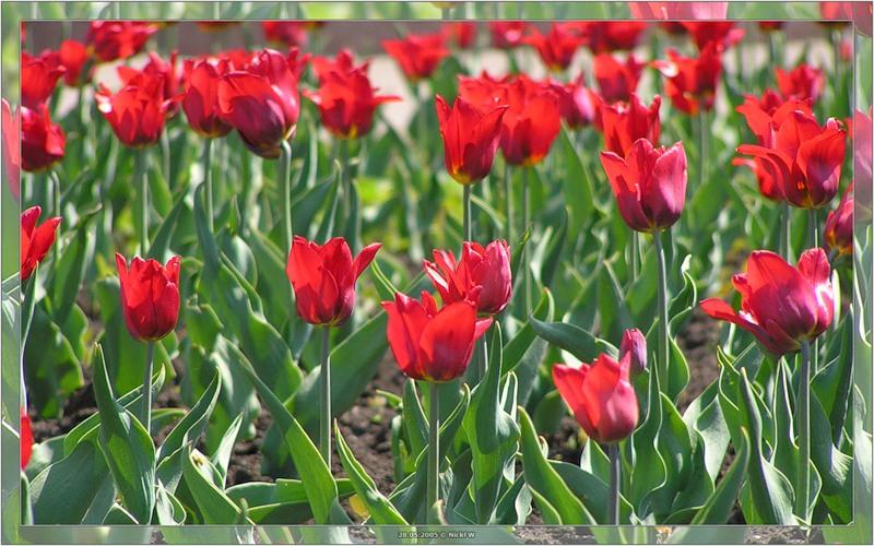 6. Тюльпаны в Кемерово © NickFW.ru - 28.05.2005г.
