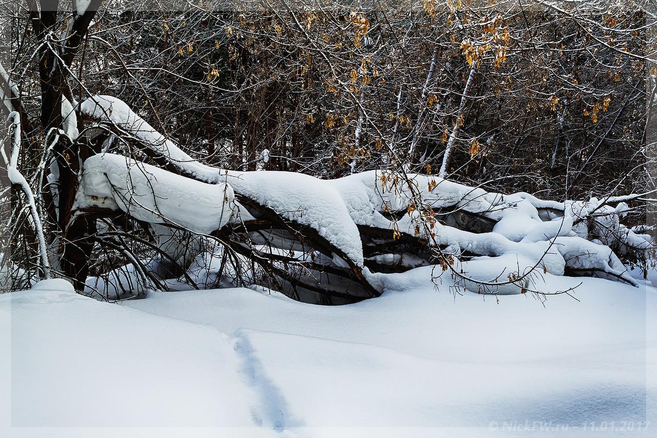 Клёны в снегу (© NickFW - 11.01.2017)