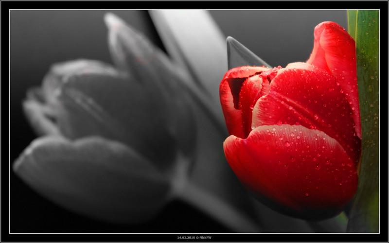 2 тюльпана...