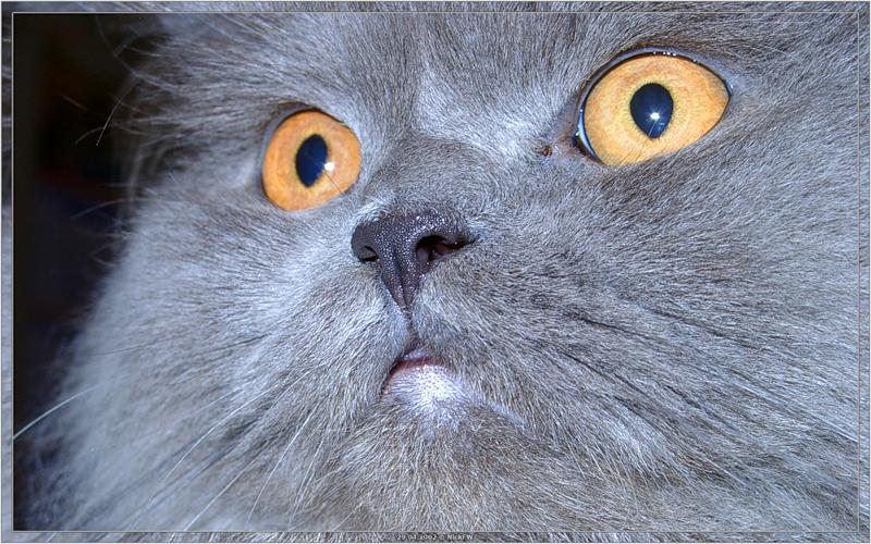 Персидский кот [© NickFW - 29.04.2002]