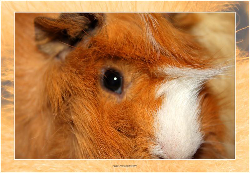 2009-11-21 морская свинка Риша