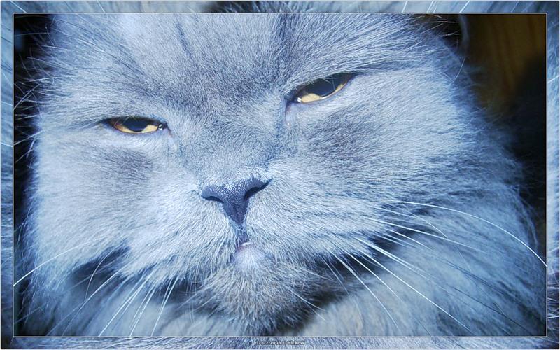Укуренный Персидский кот (© NickFW 07.02.2003)