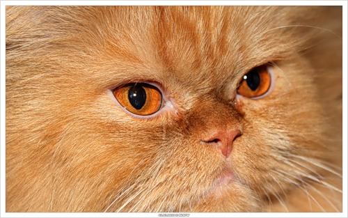 Персик (2010-03-03 персидский кот)