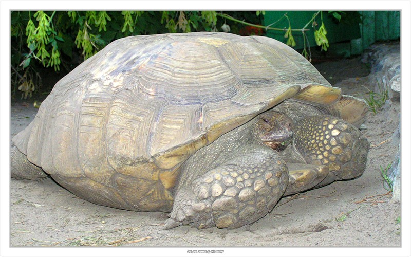 Черепаха (2005-08-06 Новосибирский зоопарк)