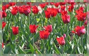 Тюльпаны (2005-05-28 Кемерово)