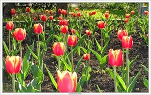 Тюльпаны (2005-05-28 Кемерово...)