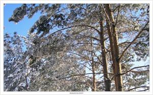 Хвоя в снегу (2008-01-27)