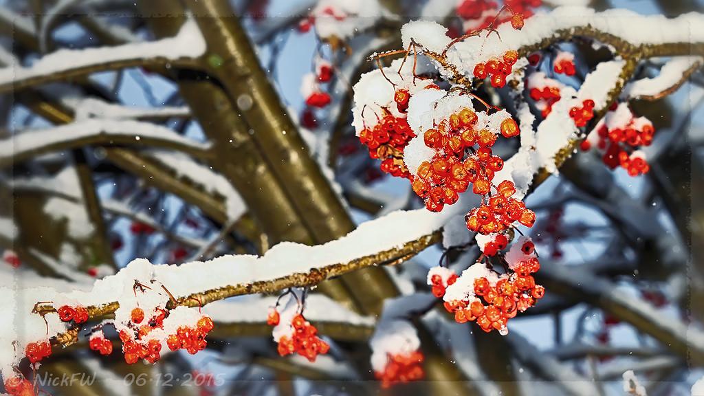 Рябина в снегу... (© NickFW - 06.12.2015)
