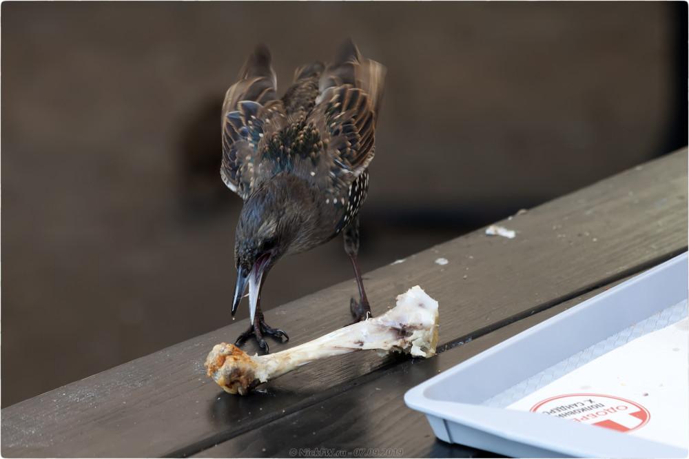 8. Ужин Скворца в общепите... © NickFW.ru - 7 сентября 2019г. - https://nat-geo.ru/photo/1310982/