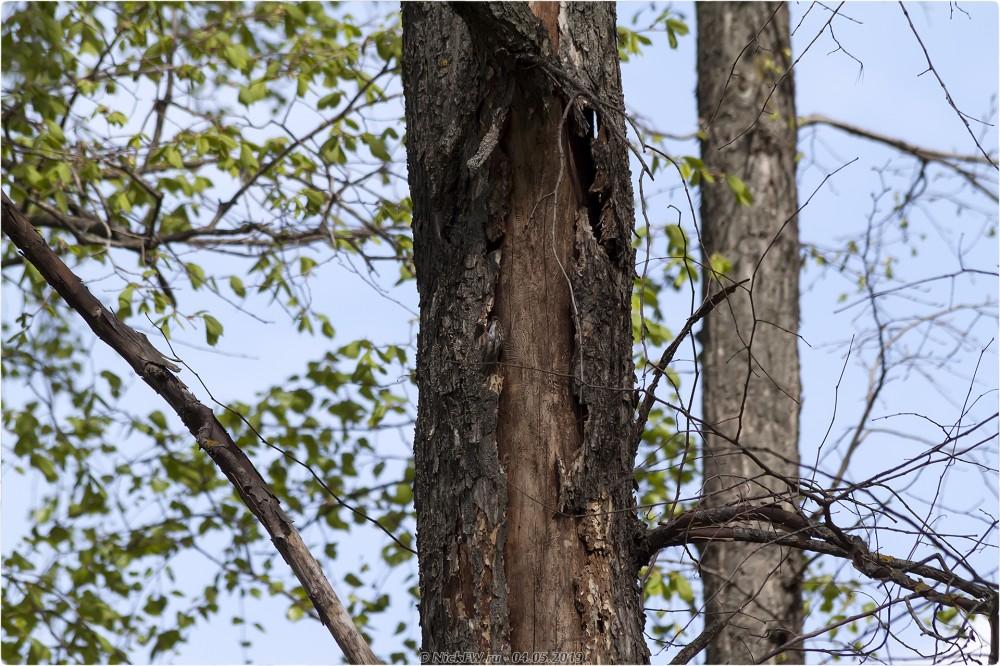 1. Пищуха в Парке Победы © NickFW.ru - 04.05.2019г.
