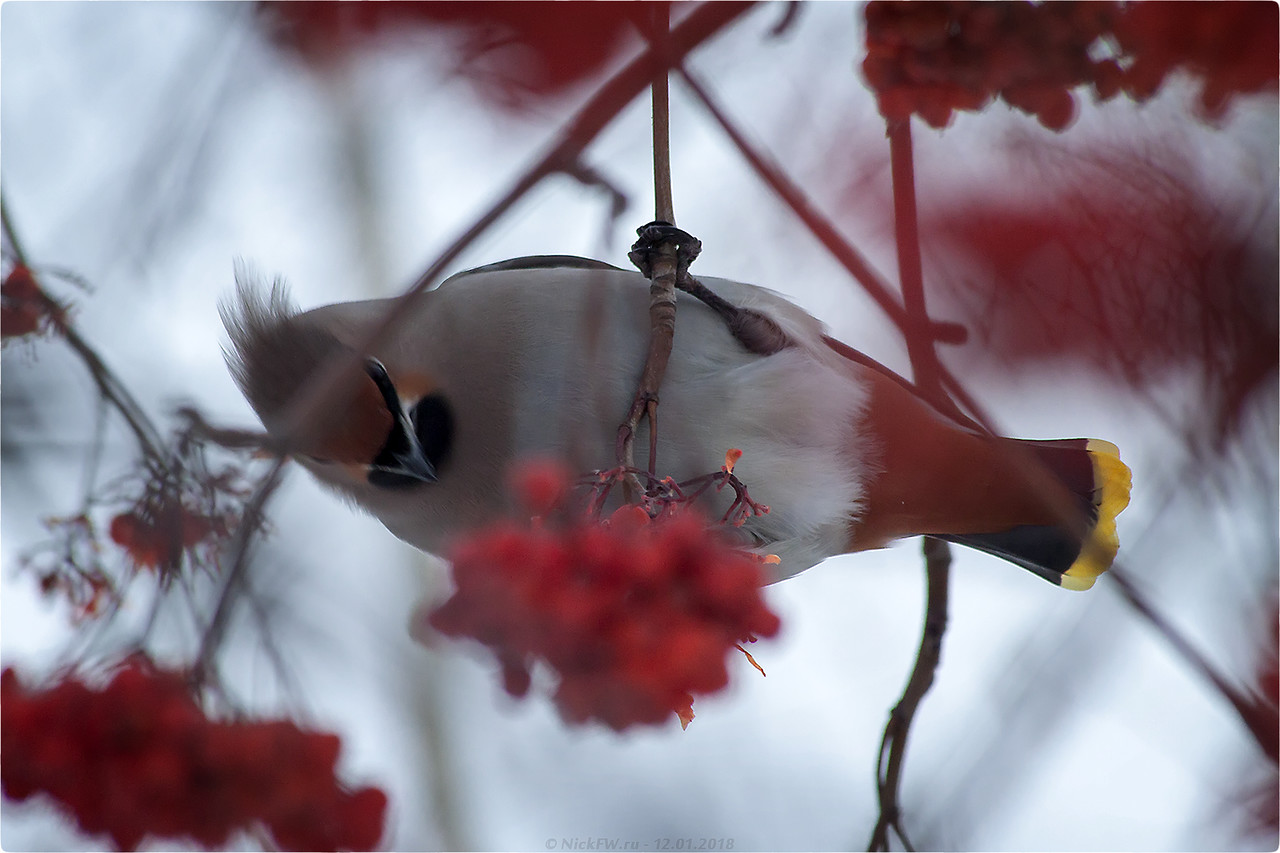 Свиристель на рябине [© NickFW - 12.01.2018]