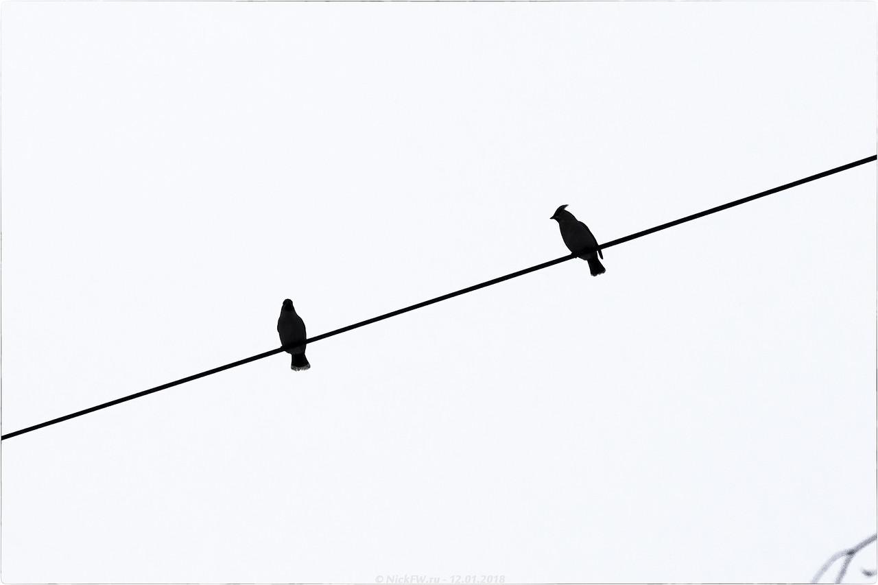 Свиристели на кабеле [© NickFW - 12.01.2018]
