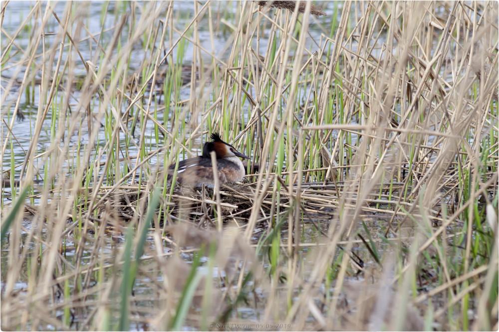 1. Чомга на гнезде - нижний Царицынский пруд © NickFW.ru - 05.05.2019г.