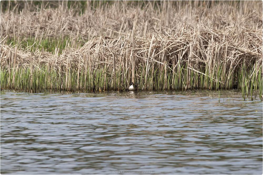 11. Чомга на гнезде - нижний Царицынский пруд © NickFW.ru - 05.05.2019г.