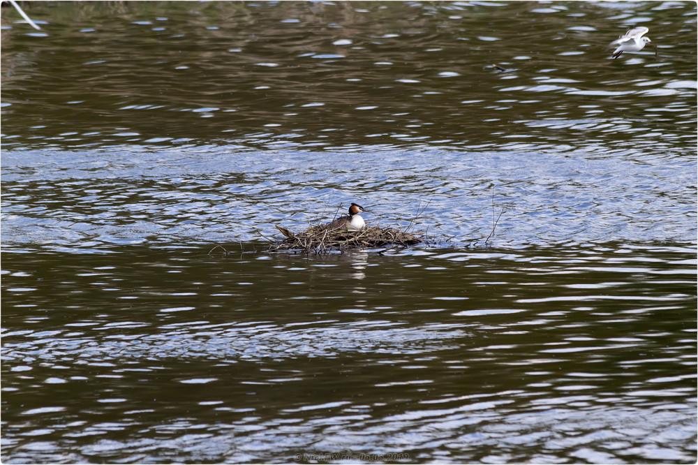 12. Чомга на гнезде - нижний Царицынский пруд © NickFW.ru - 05.05.2019г.