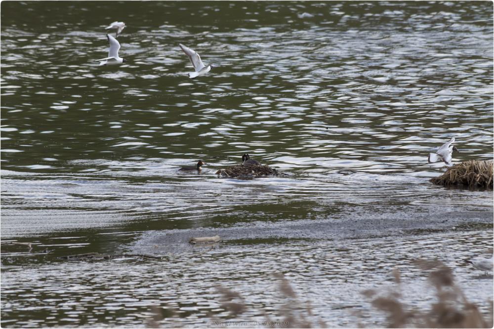 13. Чомга на гнезде и чайки - нижний Царицынский пруд © NickFW.ru - 05.05.2019г.