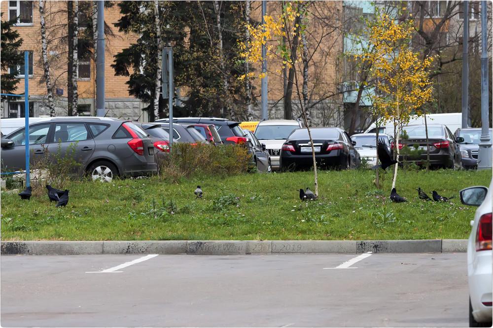 9. Грачи и Вороны на газоне в Солнцево © NickFW.ru - 29.10.2019г.