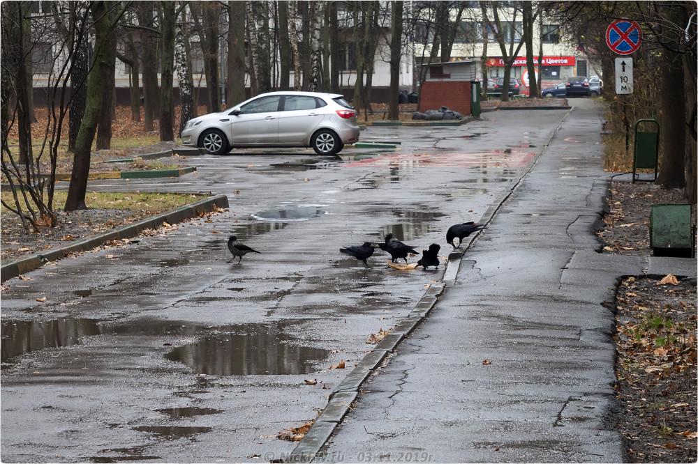 12. Грачи и Вороны в Солнцево © NickFW.ru - 03.11.2019г.