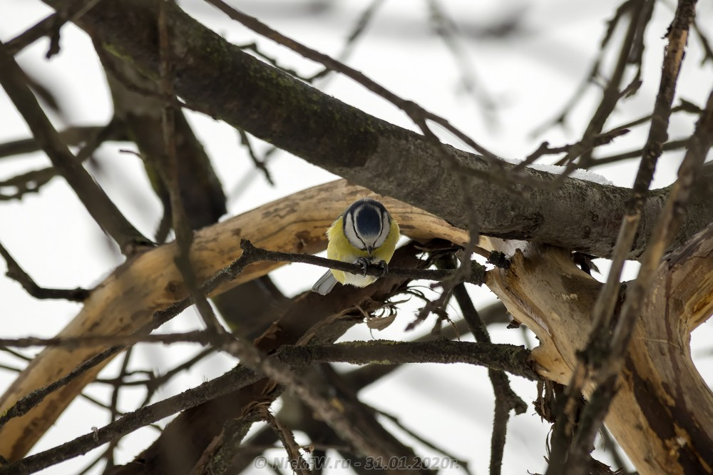 5. Лазоревка © NickfW.ru - 31.01.2020г.