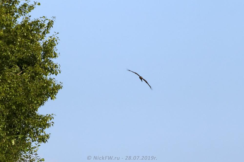 11. Чёрный коршун © NickFW.ru - 28.07.2019г.