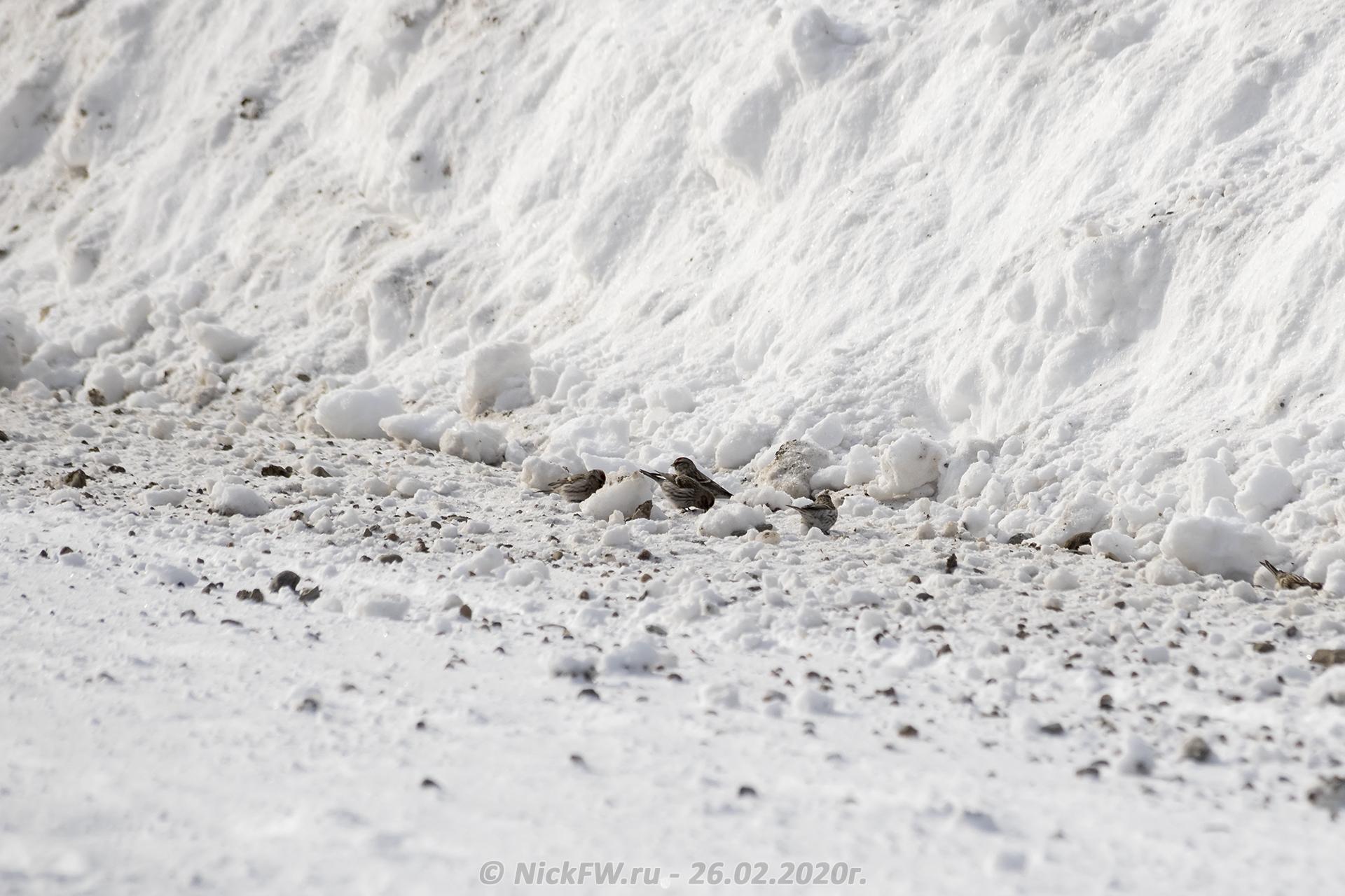 5. Чечётки на обочине © NickFW.ru - 26.02.2020г.