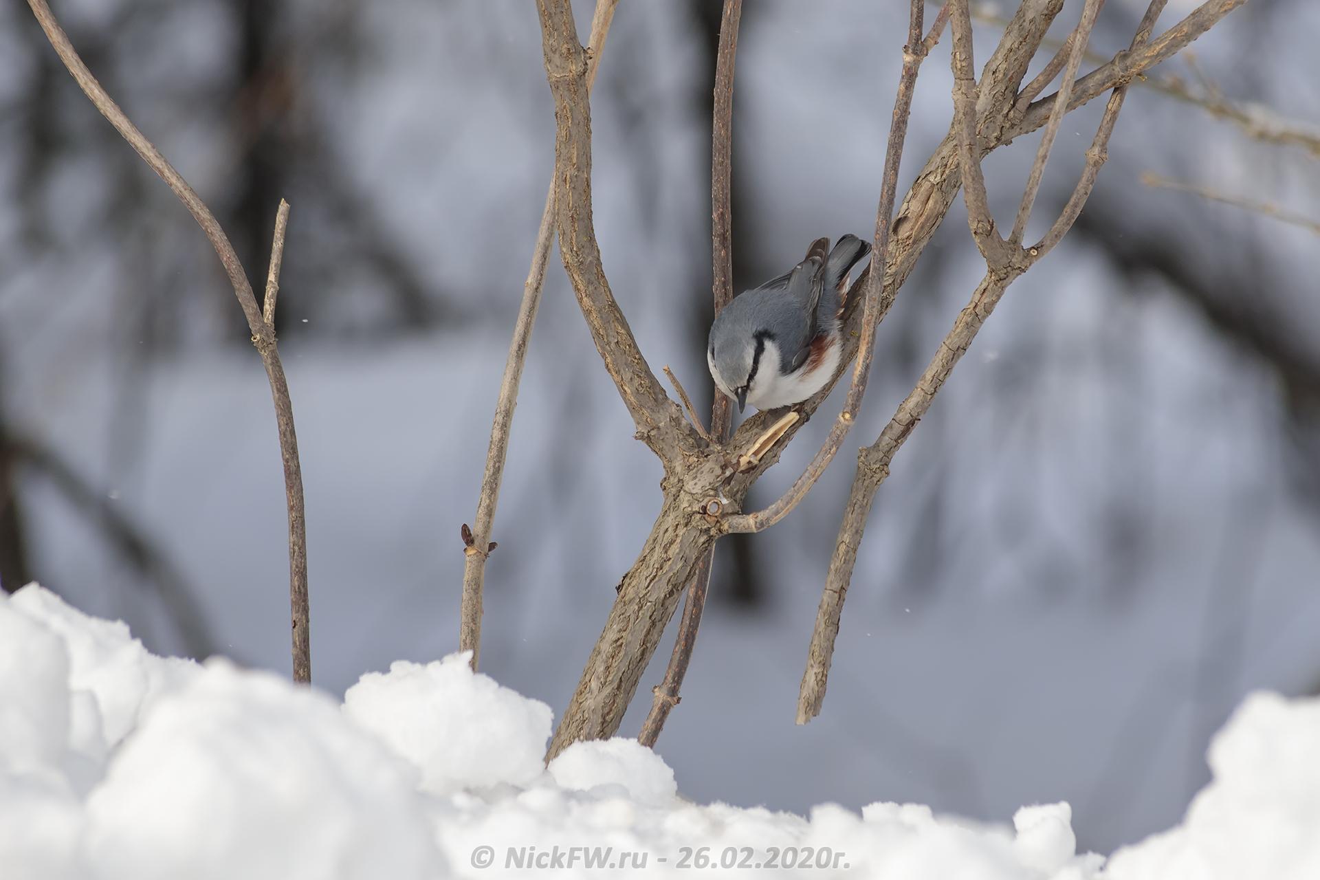 7. Поползень © NickFW.ru - 26.02.2020г.