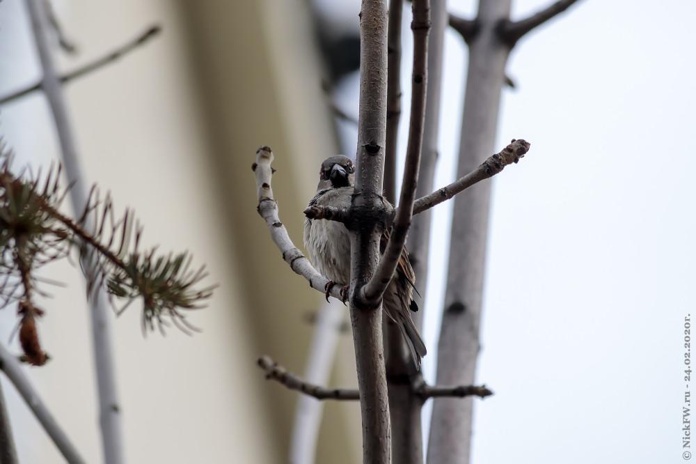 7. Самец домового воробья © NickFW.ru - 24.02.2020г.