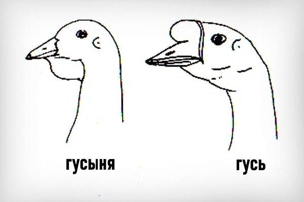Найдено в яндекс.картинки © https://ferma.expert/pticy/gusi/razvedenie-gusi/kak-otlichit-gusaka-ot-gusyni/