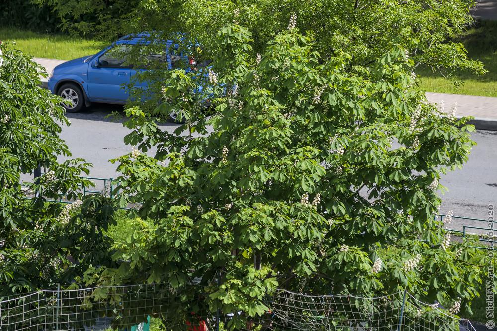 Цветущий каштан во дворе © NickFW.ru - 06.06.2020г.