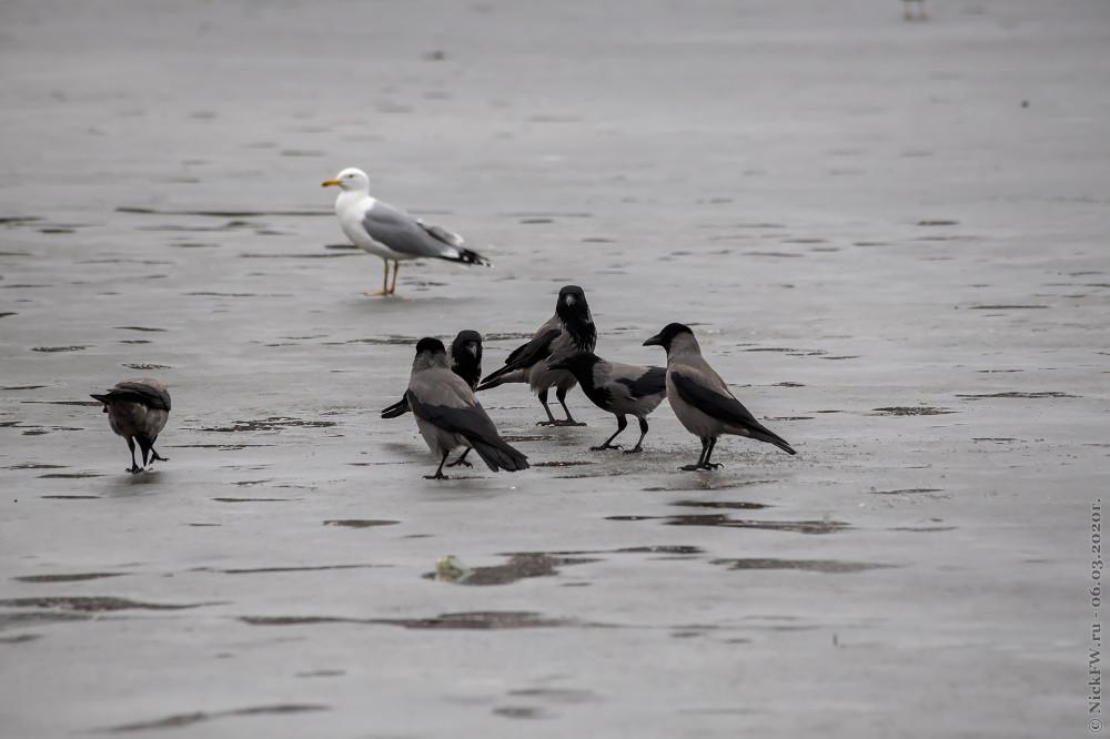 7. Серые вороны и чайка © NickFW.ru - 06.03.2020г.