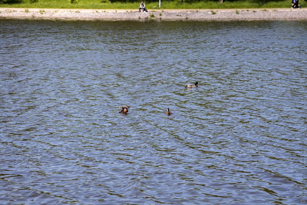 5. Селезень кряквы и молодёжь Огаря © NickFW.ru - 14.06.2020г.