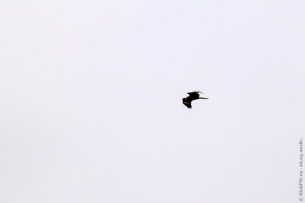 3. Чёрный коршун © NickFW.ru - 26.05.2018г.