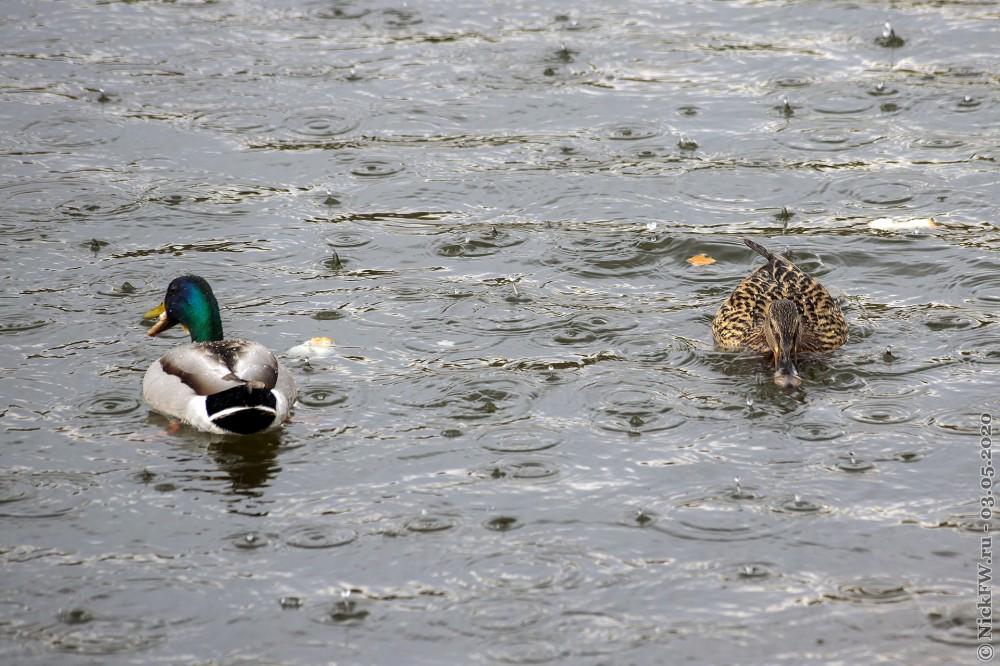 2. Кряквы - самец и самка © NickFW.ru - 03.05.2020г.