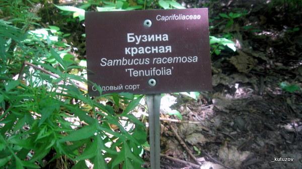 Огород-бузина